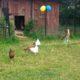 2015 - wenn möglich laufen die Hühner frei auf dem Hof herum